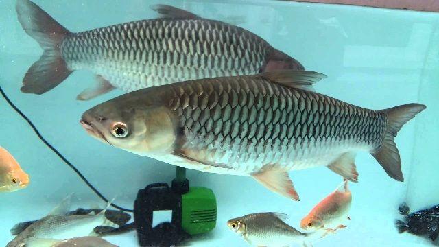 Budidaya Ikan Jelawat
