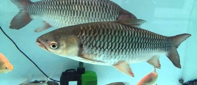 Budidaya Ikan Jelawat dengan Pakan Alami Tambah Penghasilan