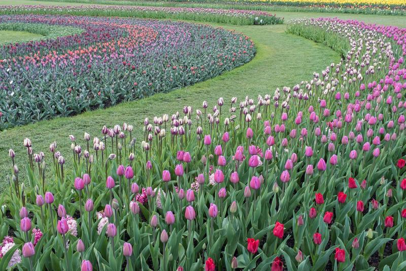 Festival de tulipanes en el Valle de Skagit en Estados Unidos. RoozenGaarde