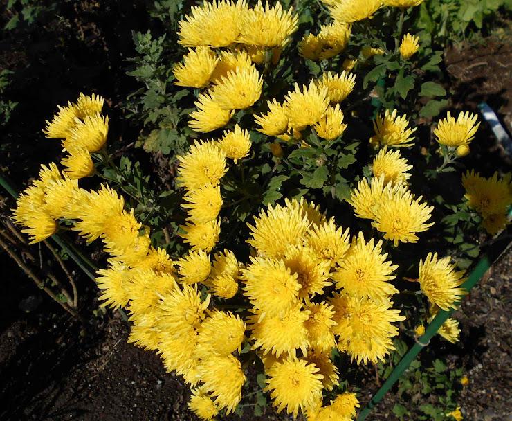 群れ咲く菊