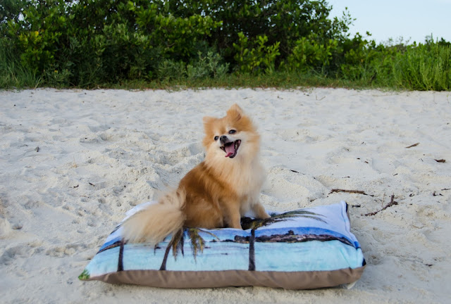dogs, dog, poemeranian, dog model, Nature City, pet bed, beach, palm trees, smile, eco-friendly
