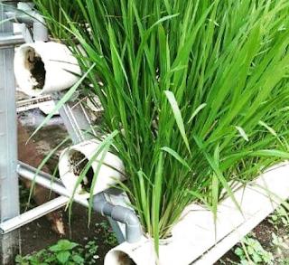 Cara menanam pada hidroponik peralon