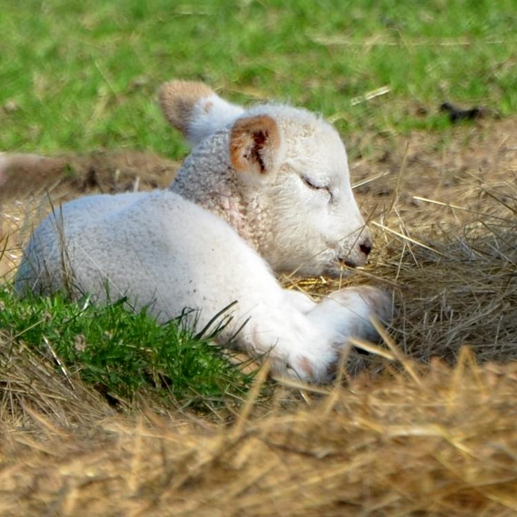 Agneau faisant la sieste