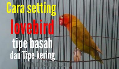 cara setting lovebird tipe basah dan tipe kering untuk kontes