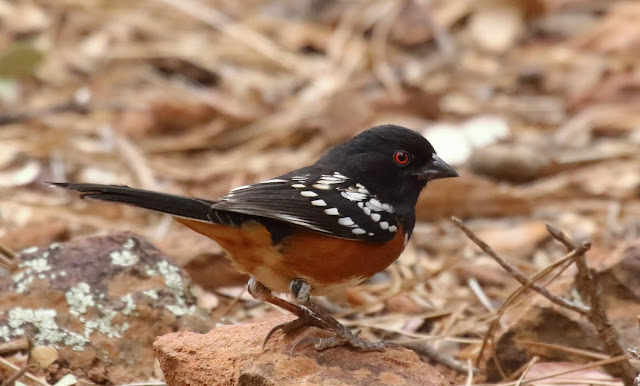 Spotted Towhee smoothed crown feathers