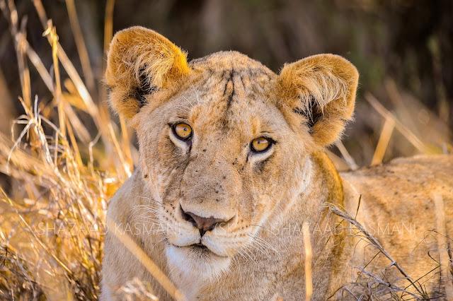 lion in tsavo east