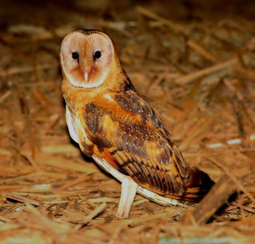 Birds of India - Female Eastern grass-owl - Tyto longimembris