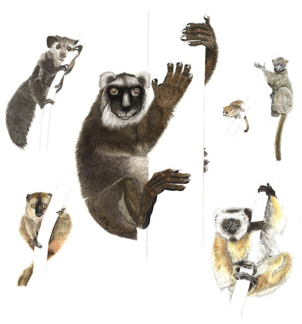 Newly sequenced genome of extinct giant lemur sheds light on animal's biology