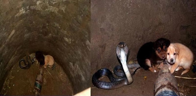 These Adorable Puppies Fell Into A Deep Well With A Cobra! But The Cobra Did The Unexpected, Wow!