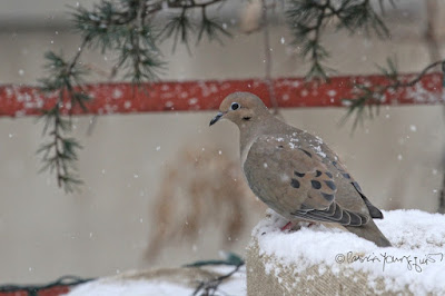"""This picture was taken on a snowy day in a  NYC rooftop garden during winter so the containers have been wrapped in burlap for protection from cold temperatures. Snow is falling and one can see it has accumulated. The focus of the image is a Mourning dove who is standing on the burlap of a large container that houses kiwi vines. The creature appears to be gazing intently down at the snow on the garden's surface. This garden is the setting for my three volume book series, """"Words In Our Beak.""""  Mourning doves are featured in the volume one. Info re these books is within another post within this blog @ https://www.thelastleafgardener.com/2018/10/one-sheet-book-series-info.html"""