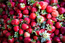 Strawberry Farm Benguet