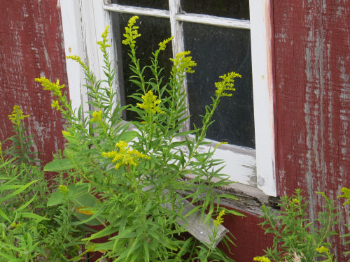 barn wall with goldenrod