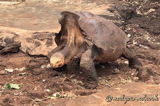 Saddleback Tortoise - Diego