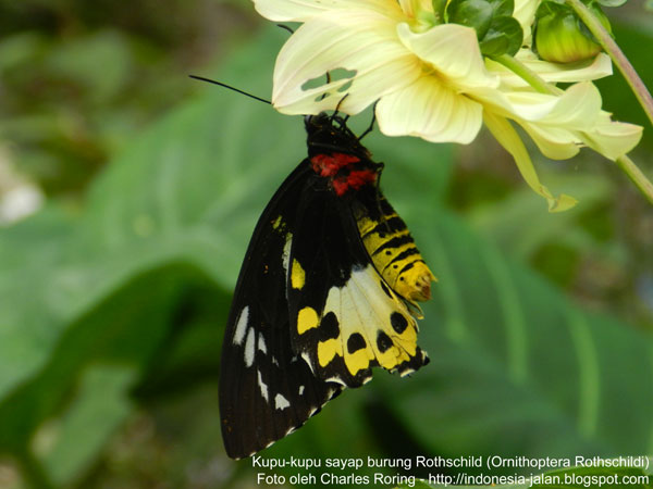 Kupu-kupu sayap burung di Pegunungan Arfak