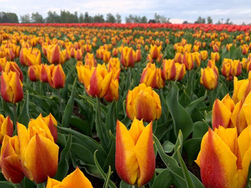 Tulipanes: últimos envíos de la temporada