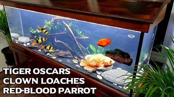 Top Large Peaceful Mates for Tiger Oscar Fish