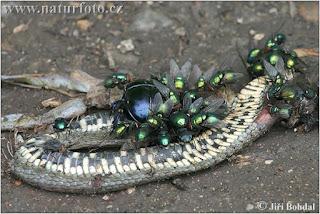 Moscas y otros insectos aprovechan los cadáveres