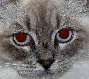 Ragamuffin Cat vs Ragdoll Personality, Size, Lifespan, Price