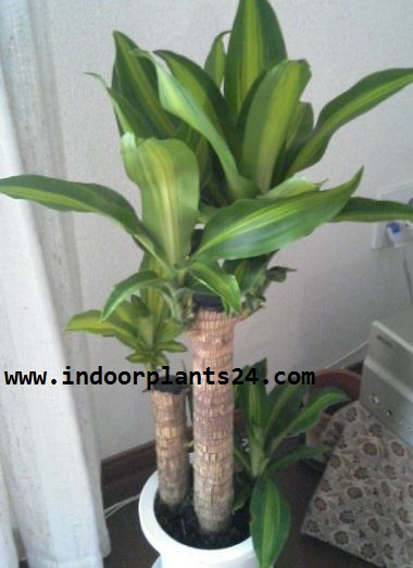 Dracaena Fragrans Massangeana Agavaceae indoor plant photo potted