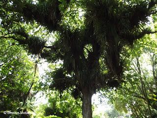 2,000 year-old Puriri tree, Pukekura Park, New Plymouth, North Island, New Zealand - Denise Motard
