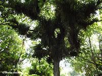 2,000 years old Puriri top branches - Pukekura Park, New Plymouth, New Zealand