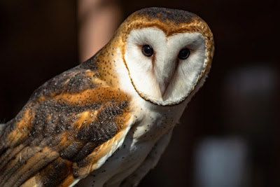 Barn owls are widespread, and the design of their faces are a part of their intricate hearing provided by the Creator.