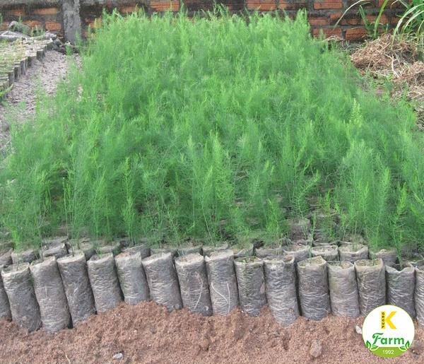 Kỹ thuật trồng măng tây xanh Hà Lan