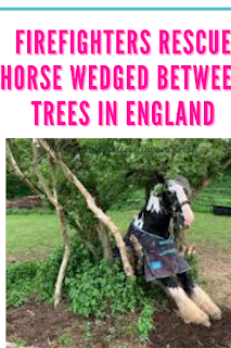 Firefighters rescue horse wedged between trees in England
