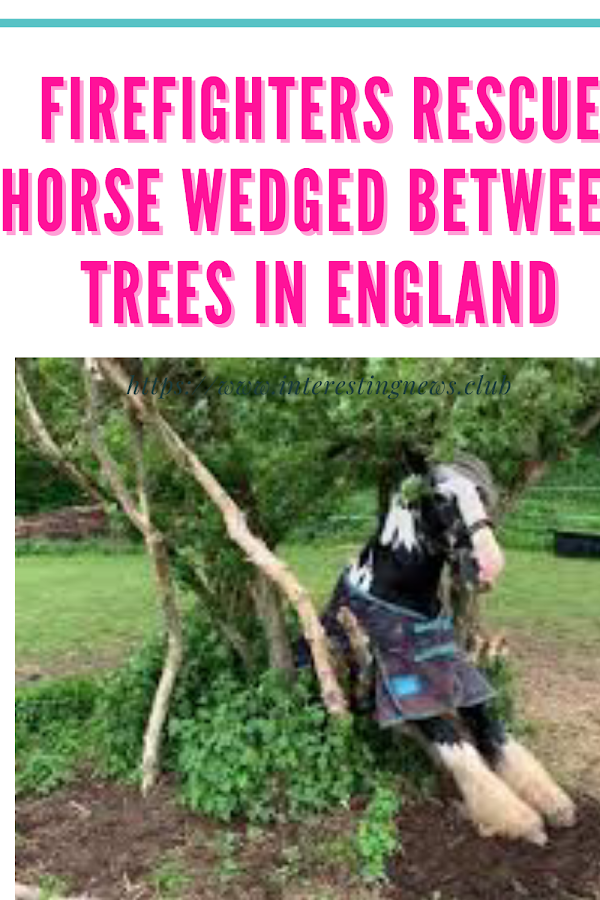 Firefighters rescue horse wedged between trees in Firefighters rescue horse wedged between trees in England