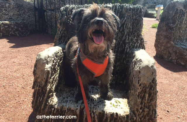 Oz the Terrier in one of the many chairs carved from coral at Coral Castle