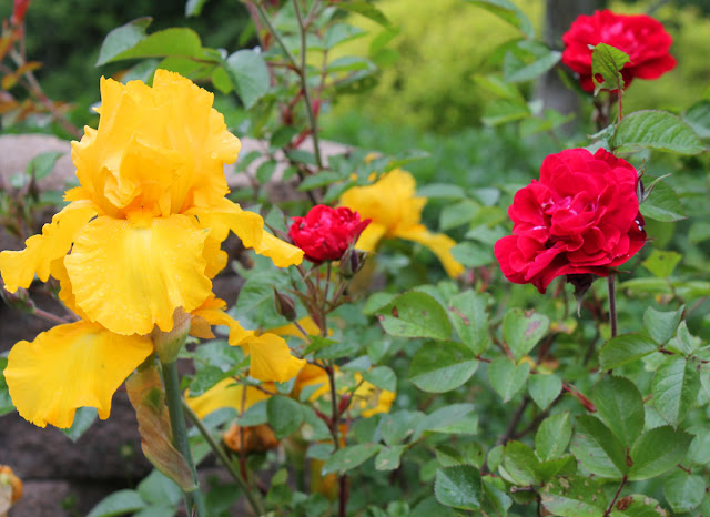 Yellow Iris and Red Rose