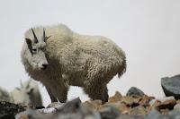 Goat -Photo by Dominique Scripter on Unsplash