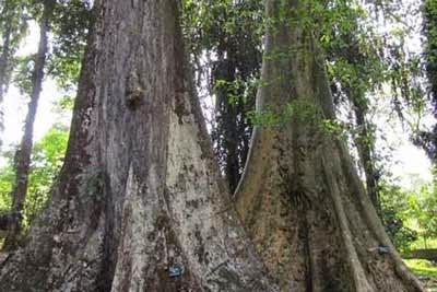 Pohon Enteng Jodoh Kebun Raya Bogor