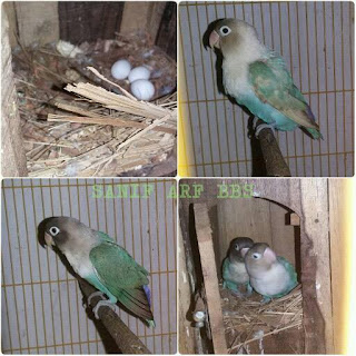 Cara Mempercepat Produksi Lovebird