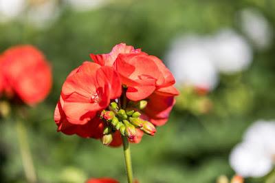 mit Strich und Faden: Pelargonium Bundeskanzler