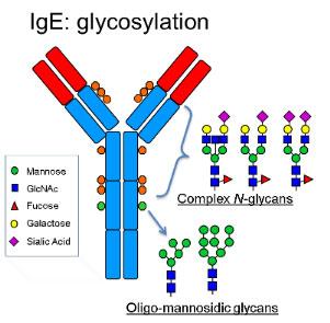 IgE (Immunoglobulin E) Antibody Structure