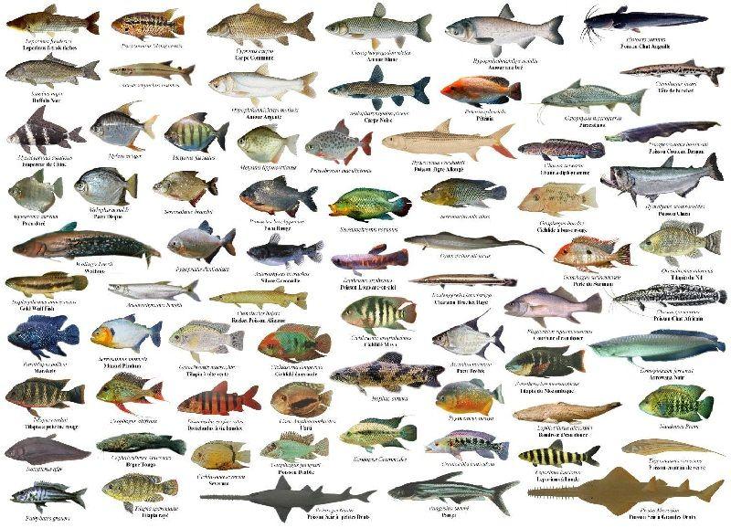 Mengenal jenis ikan air tawar