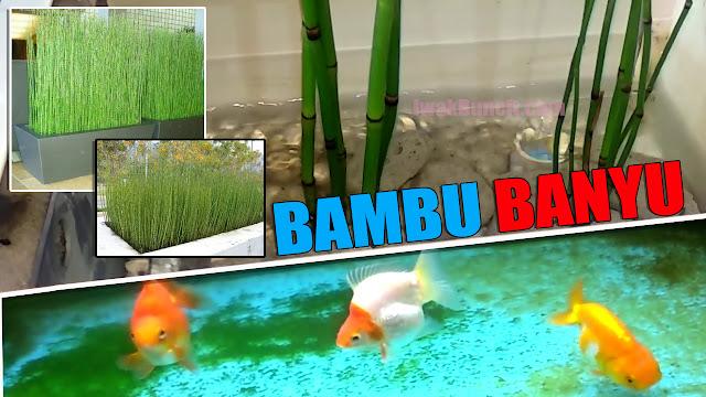 Bisakah Menanam Bambu Air di Aquarium Ikan Mas Koki? Inilah Hasilnya Setelah 1 Minggu