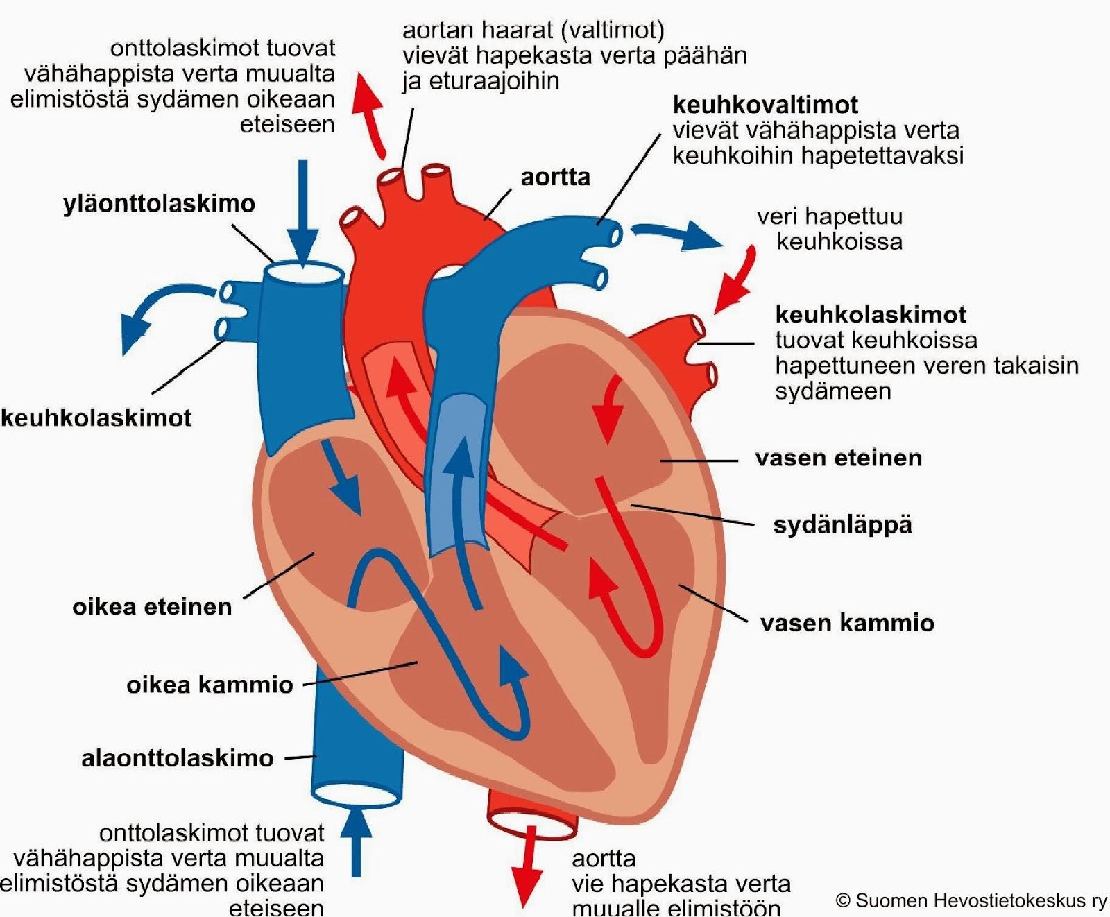 Sydän Anatomia