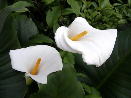 romantic flowers calla lily flower. Black Bedroom Furniture Sets. Home Design Ideas