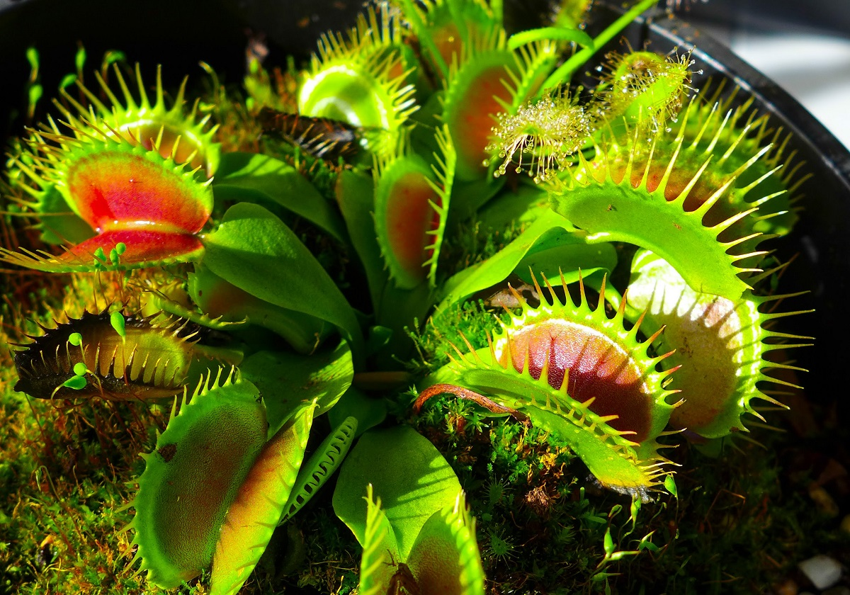 How do carnivorous plants digest their meal and remove the waste ...