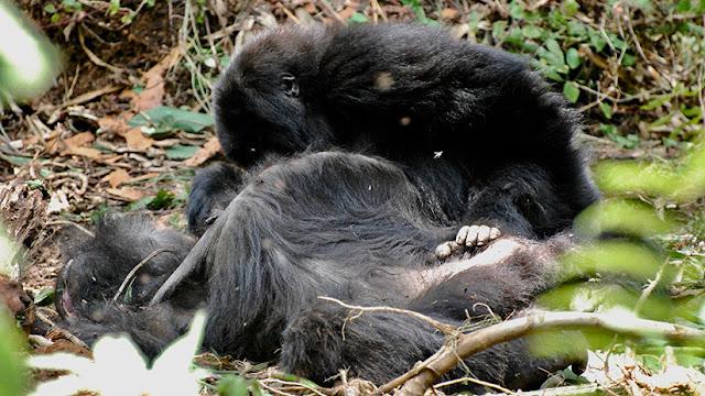 Descubren que los gorilas de montaña expresan 'dolor' ante la muerte de sus compañeros