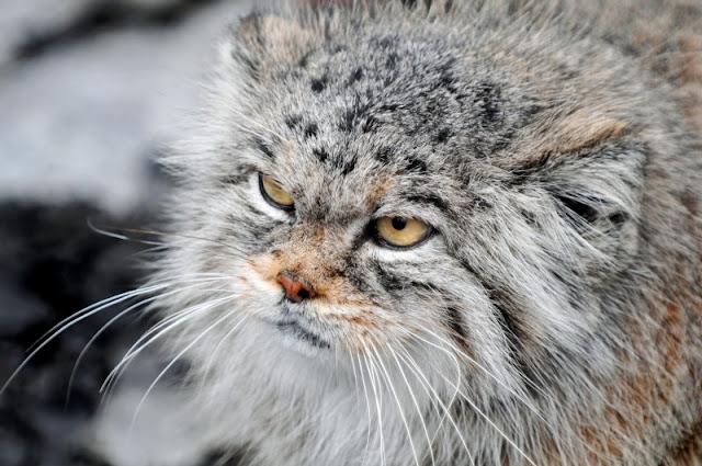 Изолираха котарак рецидивист, организирал бягства от приют за животни (ВИДЕО)