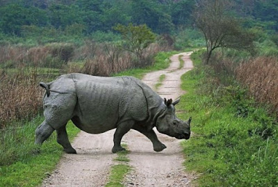 One-horned rhino in Kaziranga National Park