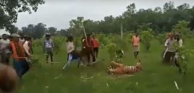 Με ματσέτες και δόρατα σκοτώνουν τίγρη στην Ινδία που μάταια πασχίζει να σωθεί (Σκληρές εικόνες)
