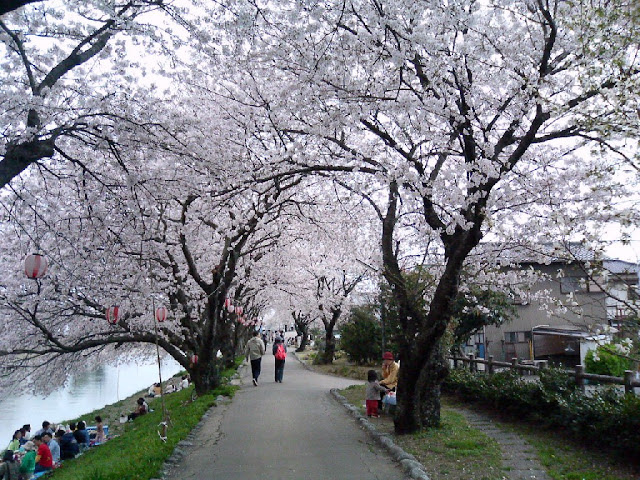 Japanese cherry blossom festival kicks off in Hanoi in March next