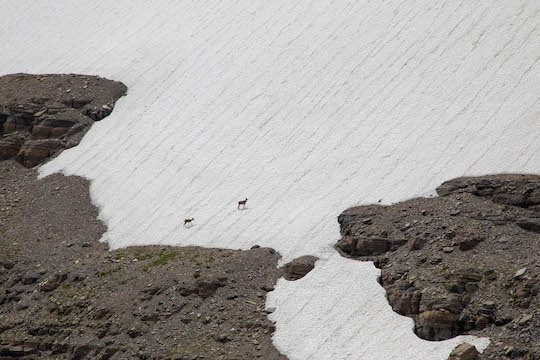 Bighorn sheep crossing a snowfield on Piegan Mountain