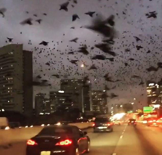Menyeramkan, Ribuan Burung Hitam Menyerbu Langit Texas dengan Suara Menakutkan