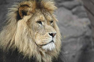 Der Dank des Löwen – Fabel von Romulus
