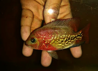 Ikan Flowerhorn Super Red Synspillum